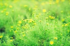 Vårbakgrund av härliga gula tusenskönablommor Royaltyfri Bild