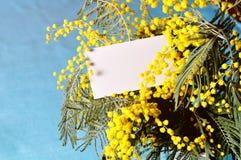 Vårbakgrund - det vita kortet i mimosan blommar på den blåa bakgrunden Royaltyfri Bild