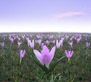 Vårbakgrund med fältet av blommande krokusar Arkivfoto