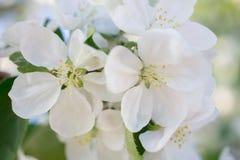 Vårbakgrund med oskarpt fattar i blom Blommasuddighet Slapp selektiv fokus blom- naturligt för bakgrund Royaltyfri Bild