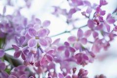 Vårbakgrund med oskarpt fattar i blom Blommasuddighet Slapp selektiv fokus blom- naturligt för bakgrund Arkivbild