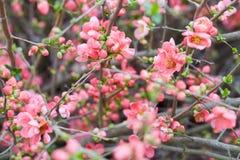 Vårbakgrund med rosa färgblomningen, blommor royaltyfria foton