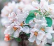 Vårbakgrund med vit- och blomningblommor Royaltyfri Foto