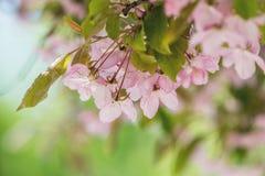 Vårbakgrundskonst med den rosa blomningen för Apple träd Arkivfoto