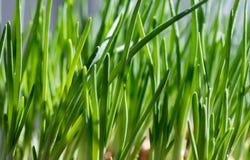 Vårbarngräs Arkivfoto
