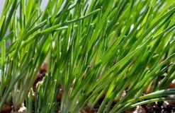 Vårbarngräs Arkivbild
