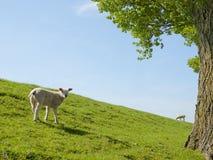 Vårbild av ett ungt lamm Arkivfoto