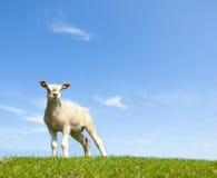 Vårbild av ett ungt lamm Arkivbilder