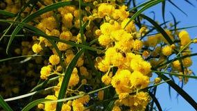 Vårbin på guld- Wattle blomstrar ultrarapid 15