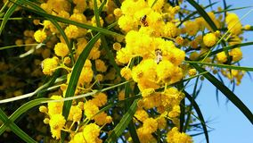 Vårbin på guld- Wattle blomstrar ultrarapid 12