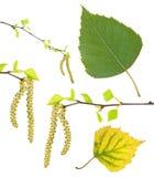 Vårbjörken förgrena sig med hängear, grön sommar och gulinghöstbladet som isoleras på vit Royaltyfria Foton