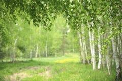 Vårbjörkskog arkivbilder