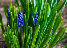 Vårblått blommar med grönt gräs Bakgrund arkivfoto