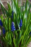 Vårblått blommar med grönt gräs Bakgrund royaltyfri fotografi