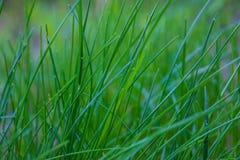 Vårblått blommar med grönt gräs Bakgrund royaltyfria foton