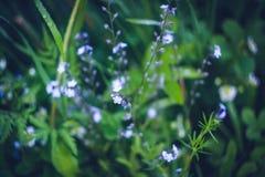 Vårblått glömma-mig-nots blommor Arkivbilder