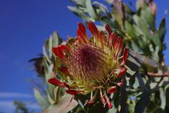 Vårblom i Kalifornien på Taft botaniska trädgårdar, Ojai C Royaltyfria Bilder
