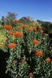 Vårblom i Kalifornien på Taft botaniska trädgårdar, Ojai C royaltyfri fotografi