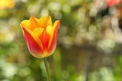 Vårblomma av rött - gul tulpan på suddig bakgrund Arkivbild