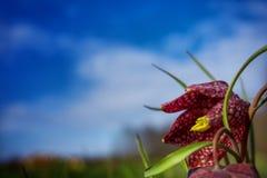 vårblomma, Fritillariameleagris Arkivbilder