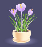 Vårblomma i en blomkruka Violett-blått krokus Fotografering för Bildbyråer