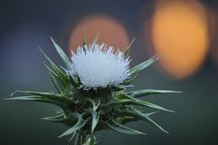 Vårblomma, Silybum med solnedgångbakgrund som blomstrar sikt royaltyfria bilder
