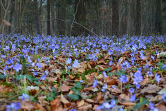 Vårblomma som blommar i skog bland gamla urblekta sidor Arkivbild