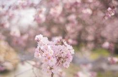 Vårblommabakgrund med rosa färger blomstrar, den blommande trädgården Arkivfoto