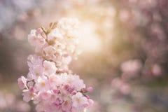 Vårblommabakgrund med rosa färger blomstrar, den blommande trädgården Arkivfoton