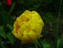 Vårblommabaner av den gula tulpanblomman Blommatulpanbakgrund Härlig sikt av gula tulpan och solljus Royaltyfri Foto