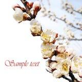 Vårblommagräns med prövkopiatext Royaltyfri Foto