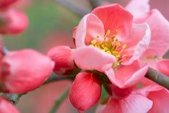 Vårblommamakro med rosa färgblomningen arkivfoto