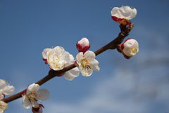Vårblommor Arkivfoton