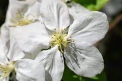 Vårblommor av det blommande våräppleträdet - suddighet för närbildsiktsmakroen, pastell tonar Vårlandskap med våräppleblommor royaltyfria foton