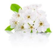 Vårblommor av fruktträd som isoleras på vit bakgrund Royaltyfri Fotografi