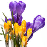 Vårblommor av violeten och gulingkrokus som isoleras på vit bakgrund Royaltyfri Fotografi