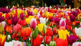 Vårblommor: färgglade tulpan i den Keukenhof trädgården Arkivbilder