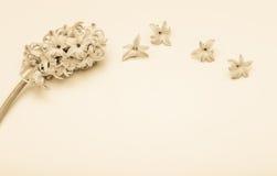 Vårblommor - hiacinth Royaltyfri Fotografi