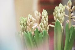 Vårblommor, Hyacinthus royaltyfri bild