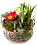 Vårblommor, i att plantera den isolerade bunken Royaltyfri Bild