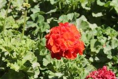 Vårblommor i peruanska trädgårdar royaltyfri foto