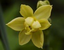 Vårblommor - multifloral pingstlilja Arkivfoton
