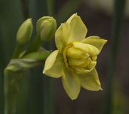 Vårblommor - multifloral pingstlilja Fotografering för Bildbyråer