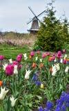 Vårblommor och tulpan med en väderkvarn i bakgrunden fotografering för bildbyråer
