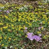 Vårblommor - purpurfärgad krokus - gul vinterstormhatt - vit S Royaltyfri Fotografi