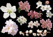 Vårblommor som isoleras på svart bakgrund Blomningar av äpple t Royaltyfria Foton