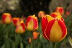 Vårblommor - tulpan Arkivbild