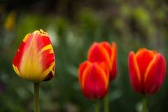 Vårblommor - tulpan Arkivfoton