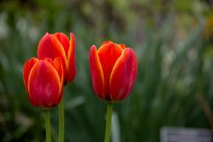 Vårblommor - tulpan Royaltyfri Foto