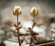 Vårblommorna Fotografering för Bildbyråer